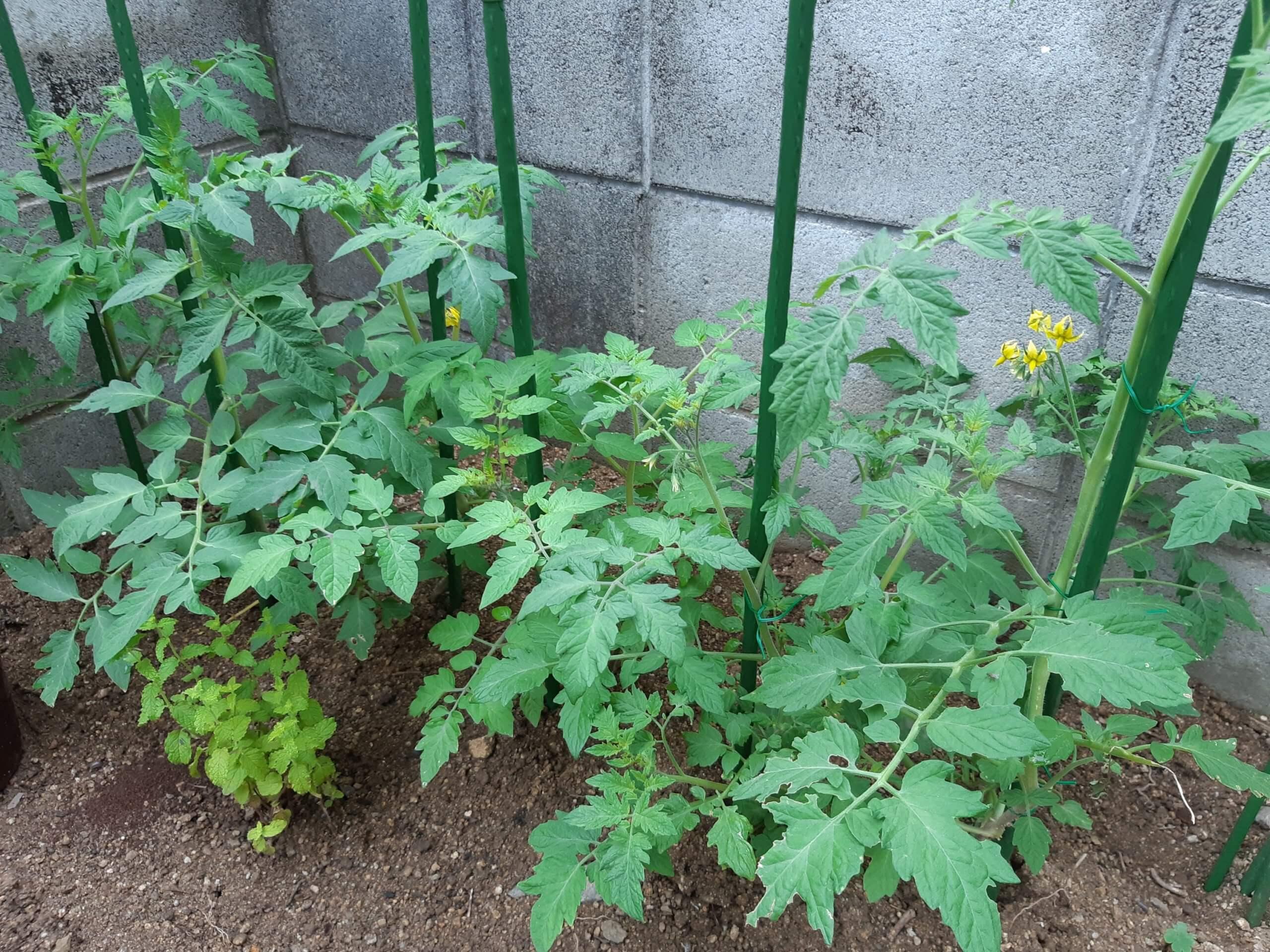 トマト&大葉
